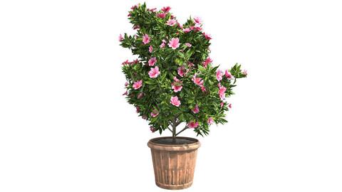 Azalea Flowers Pink in Pot