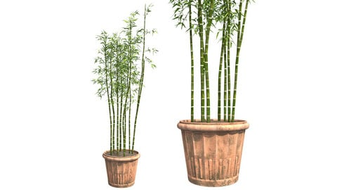 Bamboo Cluster in Pot
