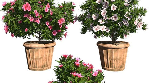 Azalea Flowers Pink & White in Pot (2 Models)