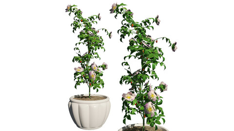Dog Rose in Pot