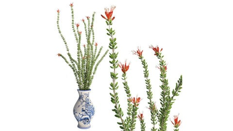 Ocotillo Spring in Vase
