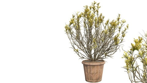 Broom Snake weed Spring in Pot