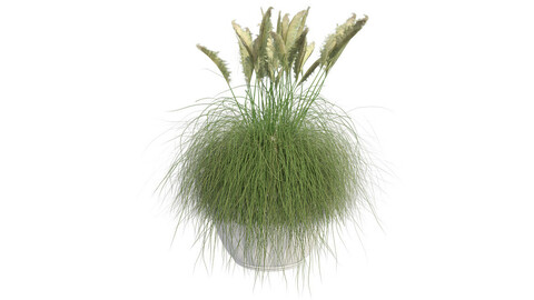 Pampas Grass in Pot