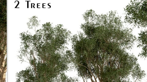 Set of Eucalyptus Globulus Trees (Blue gum) (2 Trees)