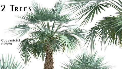 Set of Copernicia Palm Trees (Carnaubeira) (2 Trees)