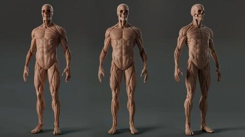Digital 3D Ecorche - Anatomy reference