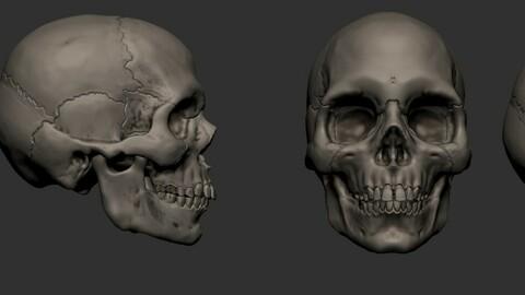 Base mesh European skull