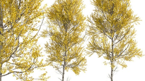 Set of Aspen Trees (Populus tremuloides) (2 Trees)