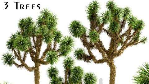 Set of Joshua Trees (Yucca brevifolia) (3 Trees)
