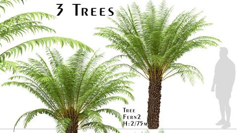Set of Tree Fern Trees (Dicksonia antarctica) (3 Trees)