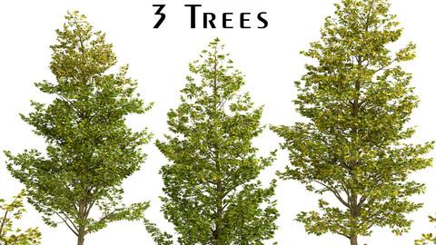 Set of Overcup Oak Trees (Quercus lyrata) (3 Trees)
