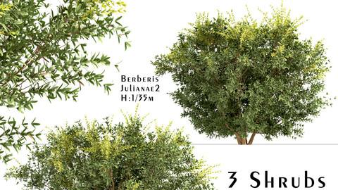 Set of Berberis julianae Shrubs (Wintergreen barberry) (3 Shrubs)