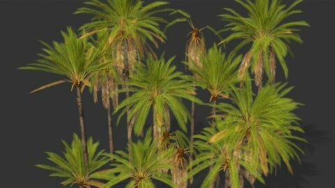 Phoenix Dactylifera Palm Tree