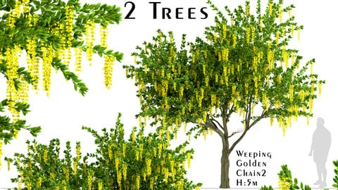 Set of Weeping Golden Chain Trees (Weeping Laburnum) (2 Trees)