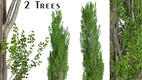 Set of Lombardy poplar Trees (Populus nigra Italica) (2 Trees)