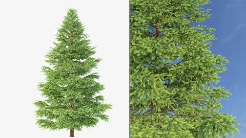 Tree - Picea Rubens No 1