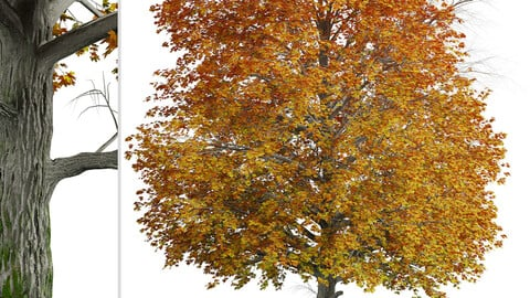 Norway Maple Tree (Acer platanoides) (1 Tree)