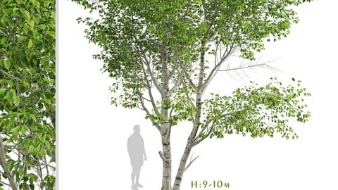 Set of Paper Birch Trees (Betula papyrifera) (2 Trees)