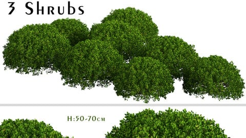 Set of Boxood Shrubs ( Buxus ) (3 Shrubs)