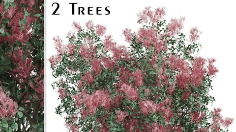 Set of American Smoketree Trees (Cotinus obovatus) (2 Trees)