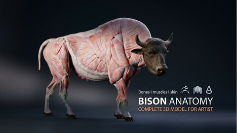 Bison Anatomy - Skin ; Muscles ; Bones - model & Textures