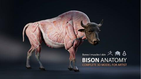 Bison Anatomy - Skin ; Muscles ; Bones - model & Textures