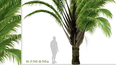 Set of Dypsis decaryi palm Trees (Triangle Palm) (2 Trees)