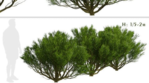 Set of Pinus Mugo Trees (Bog Pine) (3 Trees)