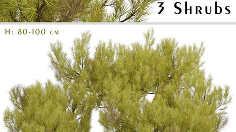 Set of Pinus Mugo Shrubs (Little Gold Star) (3 Shrubs)
