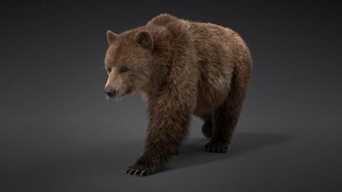 3D Animal | Female Brown Bear (UrsusArctos) Animated