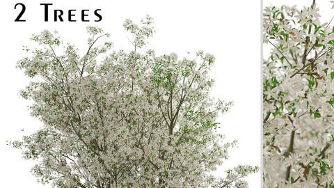 Set of Amelanchier Lamarckii Trees (Juneberry) (2 Trees)
