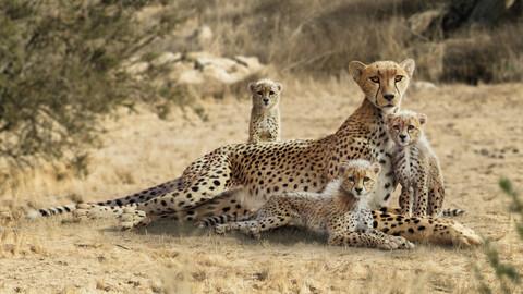Cheetah and Young Cheetah Animated