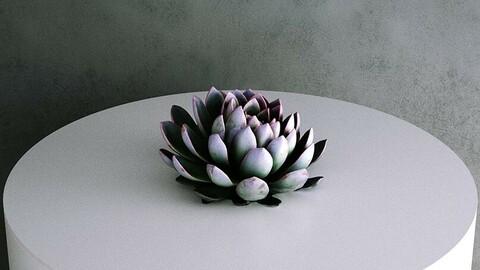 Echeveria Pulidonis Stone Rose Succulent [3d Scan Model]