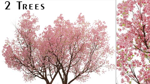 Sakura Tree (Cherry Blossom or Prunus Cerasus) (2 Trees)