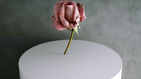 Rose / Rosa Hybrida 02 Pink [3d Scan Model: Plants / Flowers]