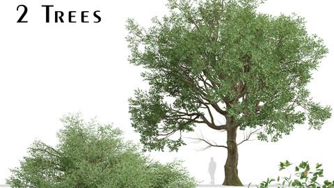 Set of American Elm Trees (Ulmus Americana) (2 Trees)