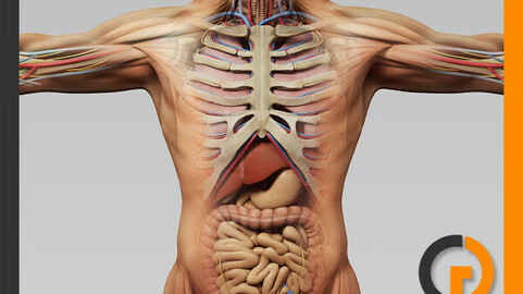 Human Male Anatomy - Body, Muscles, Skeleton and Internal Organs