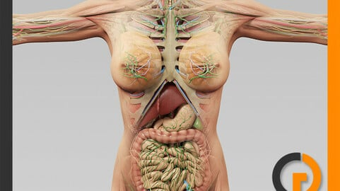 Human Female Anatomy - Body, Muscles, Skeleton, Internal Organs and Lymphatic