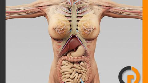 Human Female Anatomy - Body, Muscles, Skeleton and Internal Organs