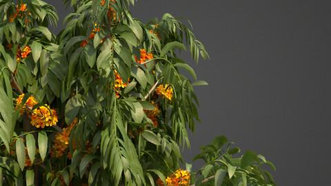 2021 PBR Ashoka Tree (Saraca Indica Ashoka)