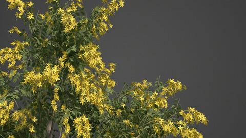2021 PBR Golden Shower Tree Collection (Cassia Fistula)
