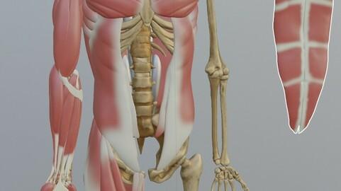 Anatomy male ecorche +  Blender Scene