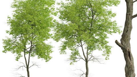 Set of White ash Trees (Fraxinus americana) (2 Trees)