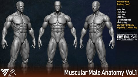 Muscular Male Anatomy (Human Base mesh)