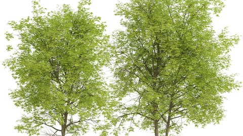 Set of Pampkin ash Trees (Fraxinus profunda) (2 Trees)
