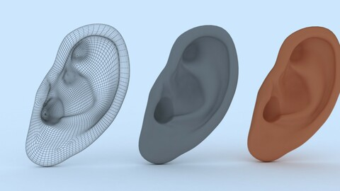 Ear Human Organ 3D Model