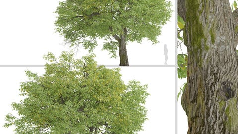 Set of English Walnut Trees (Juglans regia) (2 Trees)