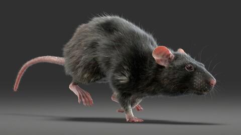 Rat Fur Animated Black