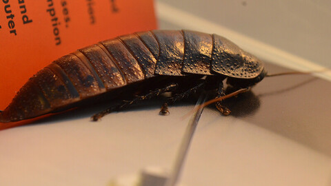 Madagascar Hissing Cockroach photo reference pack