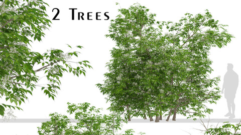 Set of Sambucus nigra Trees (Elder Gewone vlier) (2 Trees)